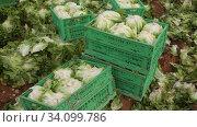 Купить «Harvest of green lettuce in crates during harvesting in garden, no people», видеоролик № 34099786, снято 18 января 2020 г. (c) Яков Филимонов / Фотобанк Лори