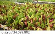 Купить «Seedlings of multicolored chard salad growing in hothouse», видеоролик № 34099802, снято 1 июня 2020 г. (c) Яков Филимонов / Фотобанк Лори