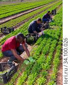 Купить «Farmers work on field - harvest arugula», фото № 34100026, снято 5 августа 2020 г. (c) Яков Филимонов / Фотобанк Лори
