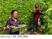 Female gardener carrying crate with bean in greenhouse. Стоковое фото, фотограф Яков Филимонов / Фотобанк Лори