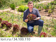 Купить «Gardener during harvesting of salad in sunny garden outdoor», фото № 34100110, снято 7 июля 2020 г. (c) Яков Филимонов / Фотобанк Лори