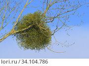 Купить «Mistletoe on tree, Wintertime, Germany, Europe.», фото № 34104786, снято 1 февраля 2018 г. (c) age Fotostock / Фотобанк Лори