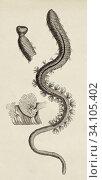 Ragworm, Perinereis cultrifera. The Korean earthworm (Nereis Perinereis aibuhitensis) is a marine polychaete highly appreciated in recreational fishing... Стоковое фото, фотограф Jerónimo Alba / age Fotostock / Фотобанк Лори