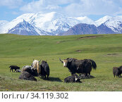 Купить «Domestic Yak ( Jak, Bos mutus ) on their summer pasture. Alaj Valley in front of the Trans-Alay mountain range in the Pamir mountains. Asia, central Asia, Kyrgyzstan.», фото № 34119302, снято 8 июля 2019 г. (c) age Fotostock / Фотобанк Лори
