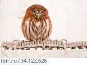 Ferruginous pygmy owl (Glaucidium brasilianum) at the Akiba Fukurou Owl Cafe, Tokyo, Japan. Стоковое фото, фотограф Karine Aigner / Nature Picture Library / Фотобанк Лори