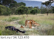 Two Lionesses and their cubs (Panthera leo) nuzzle at a kill site, Serengeti Plains, Tanzania. Стоковое фото, фотограф Karine Aigner / Nature Picture Library / Фотобанк Лори