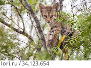 North American bobcat (Lynx rufus) kitten sitting in tree. Texas, USA. June. Стоковое фото, фотограф Karine Aigner / Nature Picture Library / Фотобанк Лори