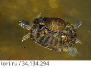 Купить «Red-eared slider (Trachemys scripta elegans), and Painted turtle (Chrysemys picta) on back, Maryland, USA, August.», фото № 34134294, снято 9 июля 2020 г. (c) Nature Picture Library / Фотобанк Лори