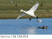 Купить «Bewick's swan (Cygnus columbianus bewickii) preparing to land on a marshland pool near other wildfowl, Gloucestershire, UK, December.», фото № 34134414, снято 4 августа 2020 г. (c) Nature Picture Library / Фотобанк Лори