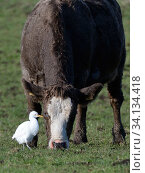Купить «Cattle egret (Bubulcus ibis) foraging for invertebrates near a grazing Cow (Bos taurus) on pastureland, Somerset Levels, UK, December.», фото № 34134418, снято 12 июля 2020 г. (c) Nature Picture Library / Фотобанк Лори