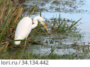 Купить «Great white egret (Egretta alba) hunting for fish in a drainage channel in pastureland, Tealham Moor, Somerset Levels, UK, November.», фото № 34134442, снято 3 августа 2020 г. (c) Nature Picture Library / Фотобанк Лори
