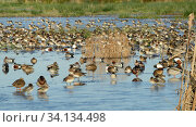 Dense mixed flock of Common Teal (Anas crecca) and Wigeon (Anas penelope), Northern shoveler (Anas clypeata), Mallard (Anas platyrhynchos) and Gadwall... Стоковое фото, фотограф Nick Upton / Nature Picture Library / Фотобанк Лори