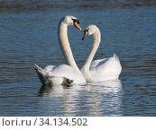Купить «Mute swan (Cygnus olor) pair courting in sunset lighton a lake, Gloucestershire, UK, December.», фото № 34134502, снято 4 августа 2020 г. (c) Nature Picture Library / Фотобанк Лори