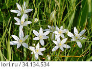 Common or Garden Star of Bethlehem (Ornothogalum umbellatum), flowering among dense grasses, Mellis Common, Suffolk, UK, May. Стоковое фото, фотограф Nick Upton / Nature Picture Library / Фотобанк Лори