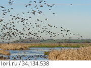 Dense flock of Common teal (Anas crecca) with a few Wigeon (Anas penelope) and Northern shoveler (Anas clypeata) in flight over others resting on partly... Стоковое фото, фотограф Nick Upton / Nature Picture Library / Фотобанк Лори