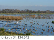 Wigeon (Anas penelope) flock and other wildfowl on flooded marshy pastureland in winter sunshine, Catcott Lows National Nature Reserve, Somerset Levels, UK, December. Стоковое фото, фотограф Nick Upton / Nature Picture Library / Фотобанк Лори