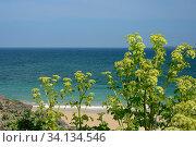 Alexanders (Smyrnium olusatrum) flowering on a coastal headland, Cornwall, UK, April. Стоковое фото, фотограф Nick Upton / Nature Picture Library / Фотобанк Лори