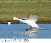 Купить «Bewick's swan (Cygnus columbianus bewickii) landing on a marshland pool, Gloucestershire, UK, December.», фото № 34134550, снято 3 июля 2020 г. (c) Nature Picture Library / Фотобанк Лори