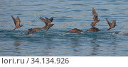 Купить «Brown noddy (Anous stolidus) flock in flight, Santa Cruz, Galapagos.», фото № 34134926, снято 12 июля 2020 г. (c) Nature Picture Library / Фотобанк Лори