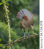 Купить «Rufous-headed chachalaca (Ortalis erythroptera) with tail feathers fanned, Buenaventura Reserve, Ecuador.», фото № 34134978, снято 3 августа 2020 г. (c) Nature Picture Library / Фотобанк Лори