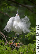 Купить «Snowy egret (Egretta thula) courtship display, St. Augustine Alligator Farm Zoological Park, Florida, USA, May.», фото № 34134982, снято 2 июля 2020 г. (c) Nature Picture Library / Фотобанк Лори