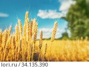 Golden wheat field. Стоковое фото, фотограф Игорь Струков / Фотобанк Лори