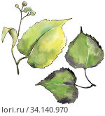 Купить «Green linden leaf. Leaf plant botanical garden floral foliage. Isolated illustration element. Aquarelle leaf for background, texture, wrapper pattern, frame or border.», фото № 34140970, снято 7 июля 2020 г. (c) easy Fotostock / Фотобанк Лори