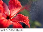 Купить «Close-up of red hibiscus flower with drops of water, dew or rain in backlight. Postcard closeup», фото № 34141338, снято 25 июня 2020 г. (c) Екатерина Кузнецова / Фотобанк Лори