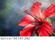 Купить «Close-up of red hibiscus flower with drops of water, dew or rain in backlight. Postcard closeup», фото № 34141342, снято 25 июня 2020 г. (c) Екатерина Кузнецова / Фотобанк Лори