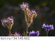 Die Rainfarn-Phazelie,auch Büschelschön genannt, ist eine Pflanzenart aus der Gattung Phacelia in der Familie der Raublattgewächse. Sie ist eine wichtige... Стоковое фото, фотограф Zoonar.com/Stephan Herlitze / easy Fotostock / Фотобанк Лори