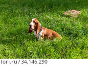 Купить «Basset Hound dog on a walk in the summer», фото № 34146290, снято 23 июня 2020 г. (c) Володина Ольга / Фотобанк Лори