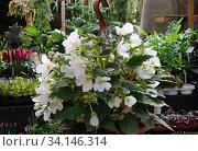 Купить «Цветущая белая бегония (lat.- Begonia) в горшке», фото № 34146314, снято 12 июня 2020 г. (c) Irina Opachevsky / Фотобанк Лори