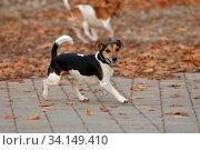 Jack Russel-Terrier, Ruede im Laub. Стоковое фото, фотограф Zoonar.com/www.Ramona-Duenisch.de / easy Fotostock / Фотобанк Лори