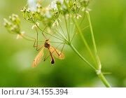 Купить «Большой комар долгоножка сидит на цветке», фото № 34155394, снято 18 июня 2020 г. (c) Игорь Низов / Фотобанк Лори
