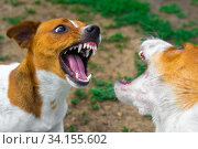 Two dogs are fighting on the street. Agressive dogs. Dog attack. Стоковое фото, фотограф Александр Сергеевич / Фотобанк Лори