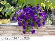 Купить «Dark violet petunia in a  growing pot in the park (park design)», фото № 34155926, снято 27 августа 2017 г. (c) Татьяна Ляпи / Фотобанк Лори