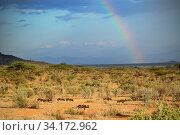 Rainbow over a Wild dog (Lycaon pictus) pack in Samburu National Reserve, Kenya. Endangered. Стоковое фото, фотограф Oriol  Alamany / Nature Picture Library / Фотобанк Лори