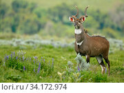 Mountain nyala (Tragelaphus buxtoni) male at Gaysay grasslands, Bale Mountains National Park, Oromia, Ethiopia. Стоковое фото, фотограф Oriol  Alamany / Nature Picture Library / Фотобанк Лори