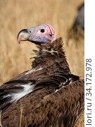 Купить «Lapped-faced vulture (Torgos tracheliotus) portrait near a carrion on the savana, Masai Mara Game Reserve, Kenya, September», фото № 34172978, снято 10 июля 2020 г. (c) Nature Picture Library / Фотобанк Лори