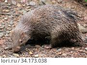 Купить «Philippine porcupine (Hystrix pumila), Philippines. Vulnerable species», фото № 34173038, снято 11 июля 2020 г. (c) Nature Picture Library / Фотобанк Лори