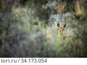 Klipspringer (Oreotragus oreotragus) seen through vegetation, Karoo National Park, Western Cape, South Africa. Стоковое фото, фотограф Houdin and Palanque / Nature Picture Library / Фотобанк Лори