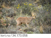 Klipspringer (Oreotragus oreotragus), marking territory with gland located under the eye, rare behavior, Karoo National Park, Western Cape, South Africa. Стоковое фото, фотограф Houdin and Palanque / Nature Picture Library / Фотобанк Лори