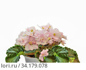 Купить «Beautiful blossoming plant of Senpolia or Uzumbar violet (saintpaulia) with delicate pink terry petals in pot. Decorative potted houseplant close up on white background isolated with space for text», фото № 34179078, снято 10 июля 2020 г. (c) easy Fotostock / Фотобанк Лори