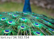 Close up of the beautiful peacock presenting his colourful tail wide open. Стоковое фото, фотограф Zoonar.com/Pawel Opaska / easy Fotostock / Фотобанк Лори