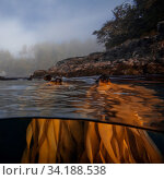 Bull kelp (Nereocystis luetkeana) split level shot in Queen Charlotte Strait, British Columbia, Canada. September. Стоковое фото, фотограф David Hall / Nature Picture Library / Фотобанк Лори