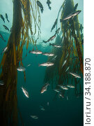 Black rockfish (Sebastes melanops) amongst Bull kelp (Nereocystis luetkeana); Hunt Rock, Queen Charlotte Strait, British Columbia, Canada. September. Стоковое фото, фотограф David Hall / Nature Picture Library / Фотобанк Лори