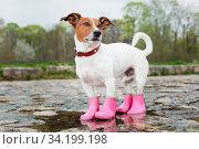 Купить «Dog wearing pink rubber boots inside a puddle», фото № 34199198, снято 7 августа 2020 г. (c) age Fotostock / Фотобанк Лори