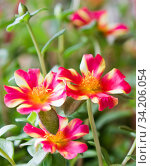 Купить «Портулак. Цветы крупным планом», фото № 34206054, снято 10 июля 2020 г. (c) E. O. / Фотобанк Лори