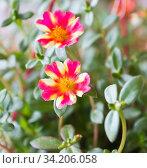 Купить «Портулак. Цветы крупным планом», фото № 34206058, снято 10 июля 2020 г. (c) E. O. / Фотобанк Лори