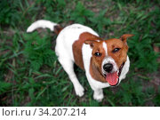 Puppy jack rassel terrier in autumn leaves on green grass. Autumn mood. Selective focus. Jack russel on a green spring grass. Jack rassell terrier standing at the forest. Стоковое фото, фотограф Александр Сергеевич / Фотобанк Лори